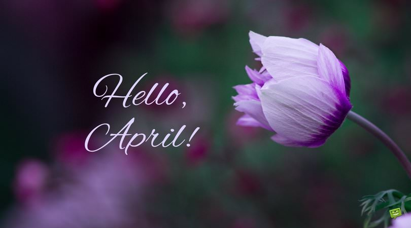 Hello-April-picture-with-stunning-purple-tulip